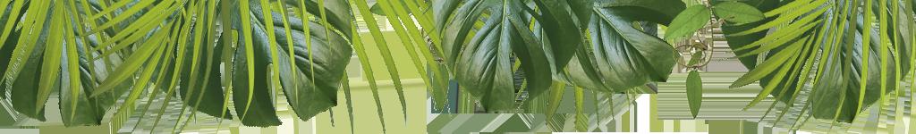 Monstera palmblad och lian